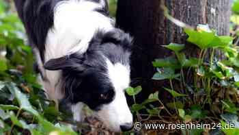 Unbekannter scheint vergiftetes Hundefutter in Rosenheim auszulegen - Polizei sucht Zeugen