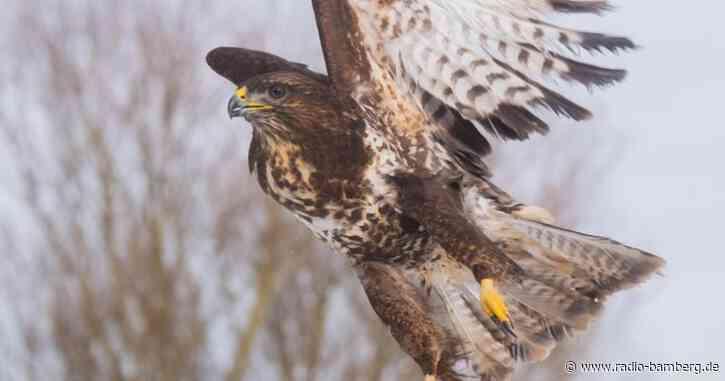 Greifvögel mit Schrot beschossen