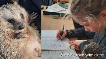 Schon seit zwei Jahren im Tierschutz aktiv: Johanna Schramm (11) ist die Igelflüsterin von Bruckmühl