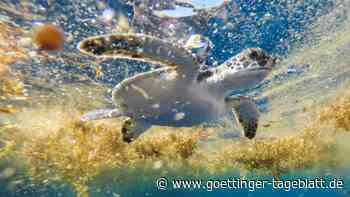 Mexico: 300 tote Meeresschildkröten angeschwemmt